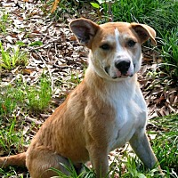 Labrador Retriever Mix Dog for adoption in Branford, Connecticut - Buddy