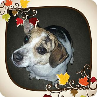 Rat Terrier Mix Dog for adoption in Liberty, Missouri - Franklin