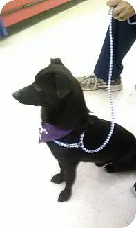 Dachshund/Terrier (Unknown Type, Small) Mix Dog for adoption in Staunton, Virginia - Bentley