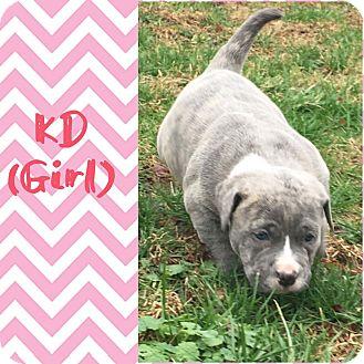 English Bulldog Mix Puppy for adoption in Brattleboro, Vermont - KD