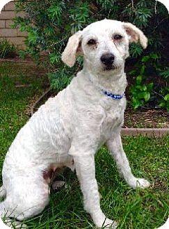 Poodle (Standard) Dog for adoption in Corona, California - MIA