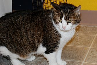 American Bobtail Cat for adoption in Salem, West Virginia - Heidi
