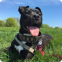 Mixed Breed (Medium)/Pit Bull Terrier Mix Dog for adoption in Chicago, Illinois - Smooches