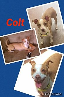 Terrier (Unknown Type, Small) Mix Dog for adoption in Scottsdale, Arizona - Colt