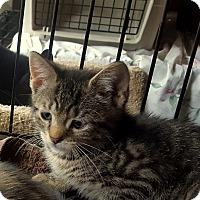 Adopt A Pet :: Henry - Berkeley Hts, NJ