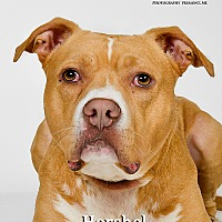 Adopt A Pet :: Hershel - Fremont, MI
