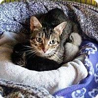 Domestic Shorthair Cat for adoption in Putnam, Connecticut - Tahiti