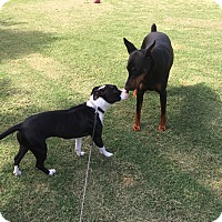 Adopt A Pet :: Darla - Greenville, SC