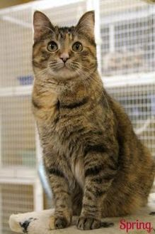 Domestic Shorthair/Domestic Shorthair Mix Cat for adoption in Vinton, Iowa - Spring