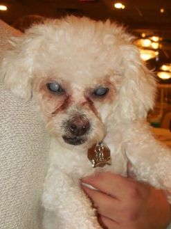 Poodle (Miniature)/Bichon Frise Mix Dog for adoption in Whiting, Indiana - Lolita