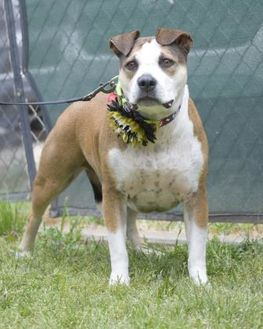 American Pit Bull Terrier Mix Dog for adoption in Fresno, California - Tippy