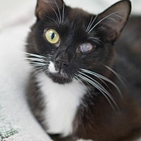 Domestic Shorthair Cat for adoption in Rocky Mount, Virginia - Corey