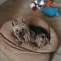 Yorkie, Yorkshire Terrier Dog for adoption in Baltimore, Maryland - Dakota (COURTESY POST)