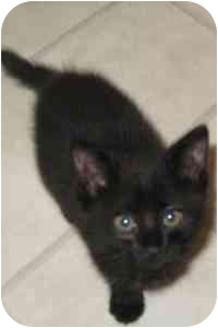 Domestic Shorthair Cat for adoption in College Station, Texas - Marley