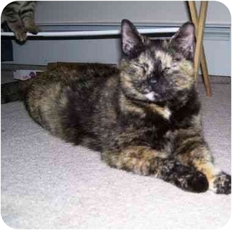 Domestic Shorthair Cat for adoption in West Warwick, Rhode Island - Calypso