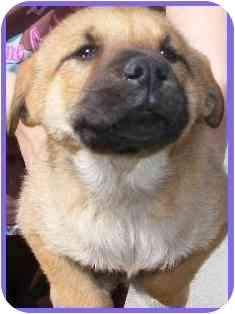 German Shepherd Dog/Shepherd (Unknown Type) Mix Puppy for adoption in Arlington, Virginia - Belle