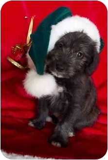 Poodle (Miniature)/Terrier (Unknown Type, Small) Mix Puppy for adoption in McArthur, Ohio - Peter
