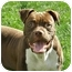 Photo 1 - American Pit Bull Terrier Dog for adoption in Meridian, Idaho - Hickory