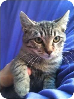 Domestic Shorthair Kitten for adoption in Santa Monica, California - TOBY
