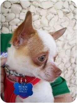 Chihuahua Dog for adoption in Edmond, Oklahoma - Freckles