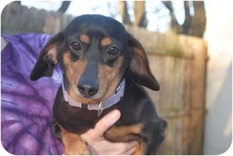 Dachshund Dog for adoption in Medford, New Jersey - Petal