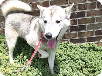 Siberian Husky Mix Dog for adoption in Augusta County, Virginia - Roxy - 9 months