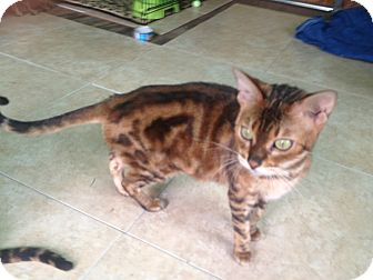 Bengal Cat for adoption in Lantana, Florida - Katniss
