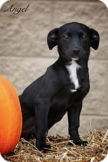 Chihuahua Mix Puppy for adoption in Albany, New York - Angel