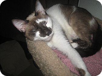 Siamese Cat for adoption in Trevose, Pennsylvania - Elna