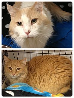 Domestic Longhair Cat for adoption in Lancaster, Kentucky - Muggins and Sammy