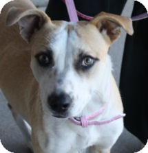 Pit Bull Terrier Mix Puppy for adoption in Cheney, Kansas - Bambi