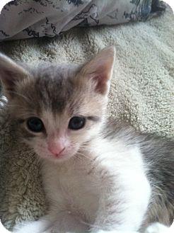 Domestic Shorthair Kitten for adoption in Brooklyn, New York - Santigold