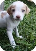 Beagle/Cocker Spaniel Mix Puppy for adoption in Allentown, Pennsylvania - Lacy