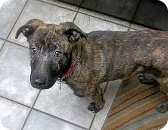 German Shepherd Dog Mix Puppy for adoption in Sacramento, California - Loni!