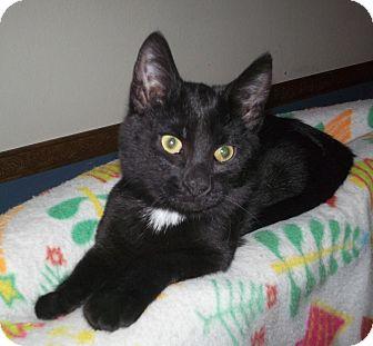 Domestic Shorthair Kitten for adoption in St. Louis, Missouri - Juniper