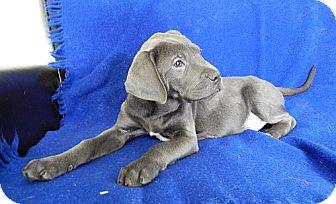 Pointer/Labrador Retriever Mix Puppy for adoption in Harrisonburg, Virginia - Storm