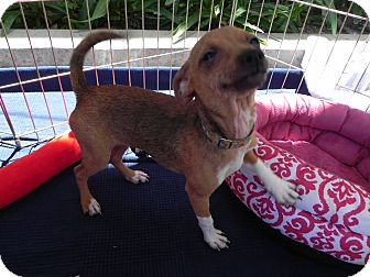 Chihuahua Mix Dog for adoption in Winnetka, California - Corrina