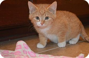 Domestic Shorthair Kitten for adoption in Williamston, Michigan - Ginger - ADOPTED 11.30.14
