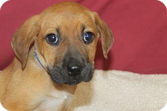 Shepherd (Unknown Type)/Hound (Unknown Type) Mix Puppy for adoption in Waldorf, Maryland - Johnson