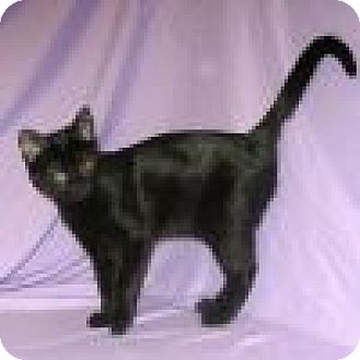 Domestic Shorthair Cat for adoption in Powell, Ohio - Isabell