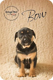 Labrador Retriever Mix Puppy for adoption in Burbank, California - Bow