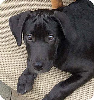Labrador Retriever/German Shepherd Dog Mix Puppy for adoption in Hammonton, New Jersey - Ruggar