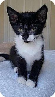 Domestic Shorthair Kitten for adoption in Hillside, Illinois - Figaro - 9 WEEKS