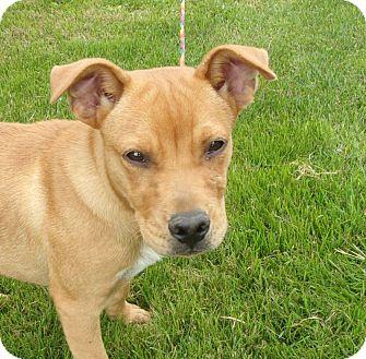Labrador Retriever Mix Puppy for adoption in Liberty Center, Ohio - Hogan