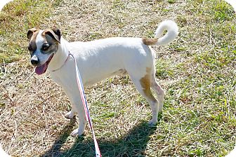 Jack Russell Terrier Mix Dog for adoption in Washingtonville, New York - Charlie