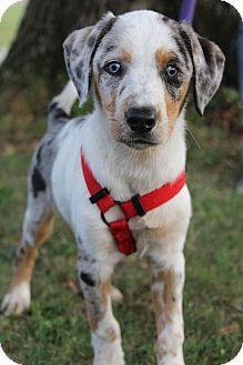 Australian Shepherd/Labrador Retriever Mix Puppy for adoption in Bedminster, New Jersey - Hannah