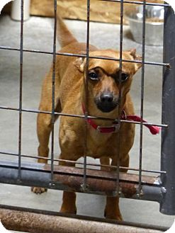 Dachshund/Chihuahua Mix Dog for adoption in Marlinton, West Virginia - Figaro--RESCUED!