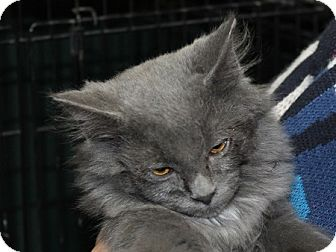 Domestic Longhair Kitten for adoption in Grinnell, Iowa - Lars