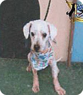 Poodle (Miniature) Mix Dog for adoption in Spokane, Washington - Pepsi