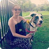 Pit Bull Terrier Dog for adoption in Williston, Vermont - Jupiter Jones aka Junior